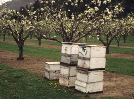 Bee hives place in orchard for pollination (E. Beers, April 1994)