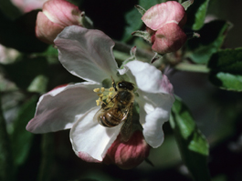 Bee on apple blossom (E. Beers, April 1987)