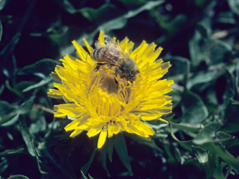Bee on dandelion flower (E. Beers, April 1987)