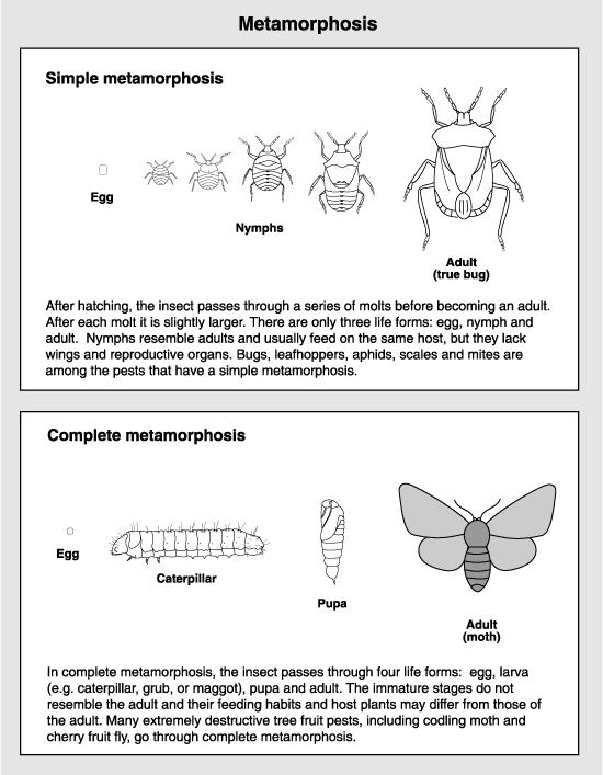 drawing of insect metamorphosis