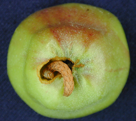Lacanobia late instar larva in apple fruit (M. Doerr)