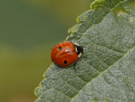 Adult twospotted lady beetle (Adalia bipunctata) (E. Beers, July 2007)