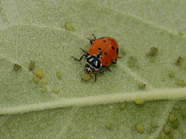 Convergent lady beetle preying on apple aphids (E. Beers, July 2007)
