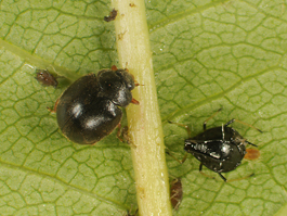 Adult Scymnus lady beetles feeding on black cherry aphid (E. Beers, June 2009, Stemilt Creek)