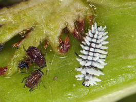 Scymnus larva eats black cherry aphid (E. Beers, June 2009, Stemilt Creek)