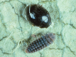 Stethorus adult (top) and larva (bottom) (H. Riedl)