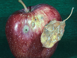 Mid-season fruit damage by pandemis leafroller (S. Hoyt)