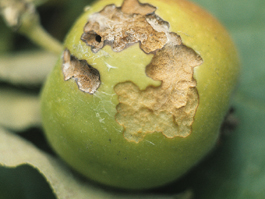 Mid-season fruit damage by obliquebanded leafroller (H. Riedl)