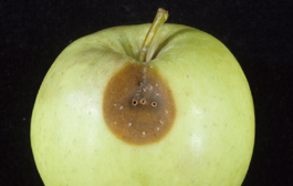 Preharvest pandemis injury to fruit (pinholing) after storage (E. Beers)