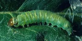 Larva of obliquebanded leafroller (J. Brunner)