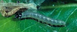 Larva of fruittree leafroller (J. Brunner)
