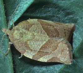 Pandemis leafroller adult (J. Brunner)