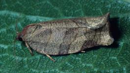 Obliquebanded leafroller adult (J. Brunner)