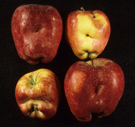Apple damage by lygus bugs (E. Beers)