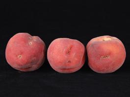 Stone fruit damage by lygus bugs (E. Beers)