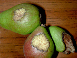 Mormon cricket damage to pears