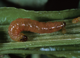 Oriental fruit moth larva (California IPM)