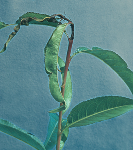 Shoot flagging of peach due to oriental fruit moth (J. Brunner)
