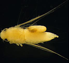 Aphelopus typhlocyba parasitizing adult leafhopper (E. Elsner, September 1988)