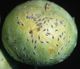 Oystershell scale on apple fruit (J. Brunner)