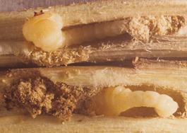Pacific flatheaded borer larvae (Ken Gray Coll.)
