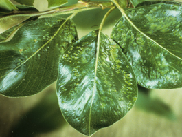 Pearleaf blister mite damage to pear foliage (H. Riedl)