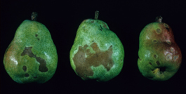 Pearleaf blister mite damage to pear fruit (H. Riedl)