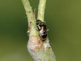 Deraeocoris adult on pear (E. Beers, July 2008)