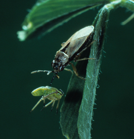 Bigeyed bug (Geocoris sp) adult feeding on lygus nymph (D. Mayer)