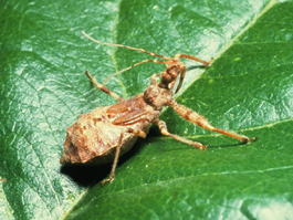 Assassin bug adult (J. Brunner)