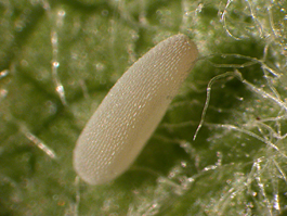 Syrphid egg (E. Beers)
