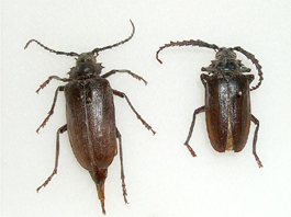 Prionus root borer male and female (J. Barbour)