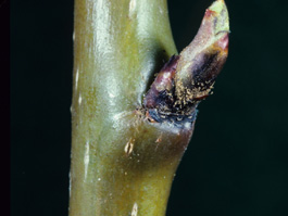 Overwintering deutogyne female pear rust mites (TFREC)