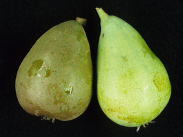 Rust mite damage to pear fruit (left, damaged; right, normal) (E. Beers, July 1998)