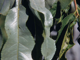 Peach foliage damage (silvering) by prunus rust mite (T. Anthon)