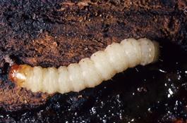 Lesser peach tree borer larva (J. Brunner)
