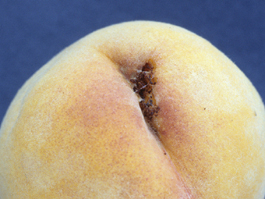 Peach twig borer larval damage to peach fruit (H. Riedl)