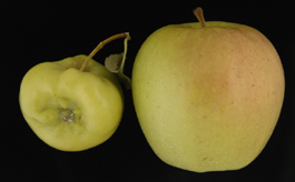 Rosy apple aphid damage to Golden Delicious (left); normal apple (right) (E. Beers)