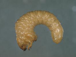 Rain beetle larva (E. Bay)