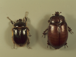 Rain beetle adults, left, male; right, female (H. Riedl)