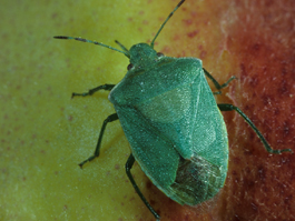 Green stink bug adult (J. Brunner)
