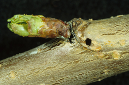 Shothole borer damage to cherry twig (E. Beers)