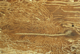 Shothole borer larval galleries in wood (H. Riedl)