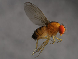 Spotted wing drosophila female (E. Beers, August 2010)