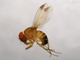 Spotted wing drosophila male (E. Beers, August 2010)
