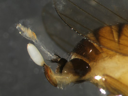 Spotted wing drosophila ovipositor and egg (E. Beers, August 2010)
