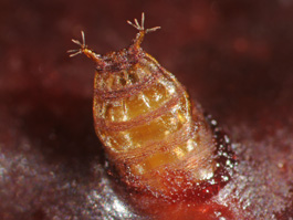 Spotted wing drosophila pupa protruding from cherry fruit (E. Beers, July 2010)
