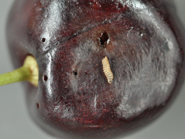 Spotted wing drosophila larva on cherry fruit; note breathing holes (E. Beers, July 2010)