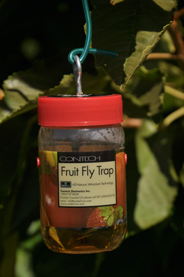 Contech fruit fly trap (E. Beers, August 2010)