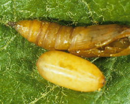 Pandemis pupa (top) and tachinid parasite pupa (bottom) (E. Beers)